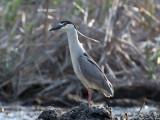 IMG_5332 Black-crowned Night Heron.jpg