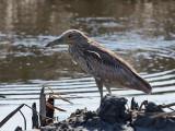 IMG_6152 Black-crowned Night Heron.jpg
