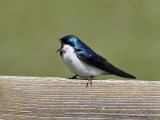 IMG_7599 Tree Swallow.jpg