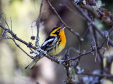 IMG_6915 Blackburnian Warbler.jpg