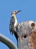 IMG_5773 Golden-fronted Woodpecker.jpg