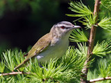 IMG_8022 Red-eyed Vireo .jpg