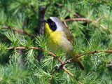 IMG_7974 Common Yellowthroat.jpg