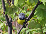 IMG_8156a Mourning Warbler.jpg