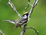 IMG_8679a Chestnut-sided Warbler.jpg