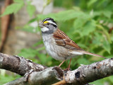 IMG_8617 White-throated Sparrow.jpg