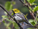IMG_7858 Black-throated Green Warbler.jpg