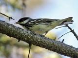 IMG_8755 Blackpoll Warbler.jpg