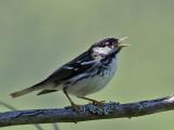 IMG_8758 Blackpoll Warbler.jpg