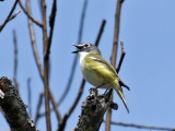 IMG_8413 Blue-headed Vireo.jpg