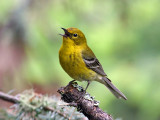 IMG_8982 Pine Warbler.jpg