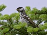 IMG_9438 Blackpoll Warbler.jpg