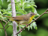 IMG_9068 Common Yellowthroat.jpg