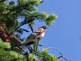 IMG_0043 Bay-breasted Warbler.jpg