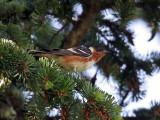 IMG_0069 Bay-breasted Warbler.jpg