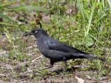 IMG_0761 Rusty Blackbird.jpg