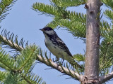 IMG_1025 Blackpoll Warbler.jpg