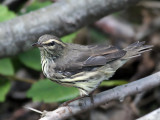 IMG_0992 Northern Waterthrush.jpg