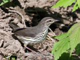 IMG_0797 Northern Waterthrush.jpg