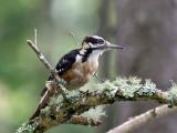 IMG_1762 Hairy Woodpecker.jpg