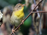 IMG_1706a Common Yellowthroat.jpg