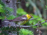 IMG_9399a Cape May Warbler.jpg