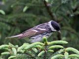IMG_9620 Blackpoll Warbler.jpg