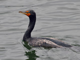 IMG_2438 Double-crested Cormorant.jpg