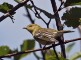 IMG_2752 Blackpoll Warbler.jpg