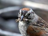 IMG_1459d Swamp Sparrow.jpg