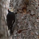 IMG_4003b White-headed Woodpecker - male.jpg