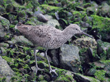 IMG_2445a Willet.jpg