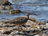 IMG_8445a Whimbrel.jpg