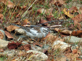 IMG_2393a Leucistic Chipping Sparrow.jpg