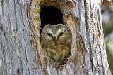 IMG_9292 Northern Saw-whet Owl.jpg
