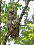 IMG_9391 Barred Owl.jpg