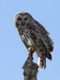 IMG_9539 Barred Owl.jpg