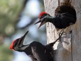IMG_0404 Pileated Woodpeckers.jpg