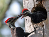 IMG_0401a Pileated Woodpeckers - males.jpg