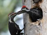 IMG_0616 Pileated Woodpeckers.jpg