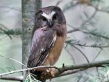 IMG_0669 Saw-whet Owl 1st day.jpg