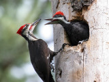 IMG_0624 Pileated Woodpeckers.jpg