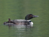 IMG_2290a Common Loon.jpg