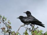 IMG_4296 American Crow.jpg