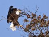 IMG_6956 Bald Eagle.jpg