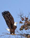 IMG_6955 Bald Eagle.jpg