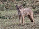 IMG_6674a Eastern Coyote.jpg