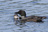 IMG_7465a Common Loons.jpg