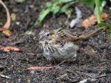 IMG_7102a Song Sparrow juvenile.jpg
