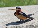 IMG_0831 Barn Swallow.jpg